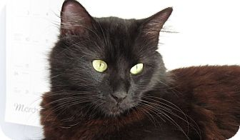 Domestic Longhair Cat for adoption in Richmond, Virginia - Princess Leia