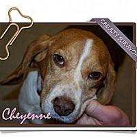 Adopt A Pet :: Cheyenne - Portland, OR