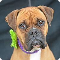 Adopt A Pet :: Gem - Plano, TX