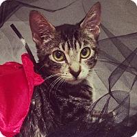 Adopt A Pet :: Shana - New York, NY
