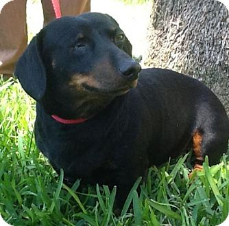 Dachshund Dog for adoption in Pearland, Texas - Pirate