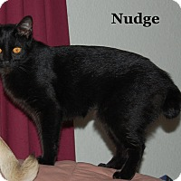 Adopt A Pet :: Nudge - Bentonville, AR