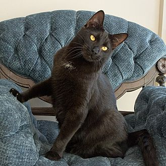 Domestic Shorthair Cat for adoption in Wilmington, Delaware - Brown