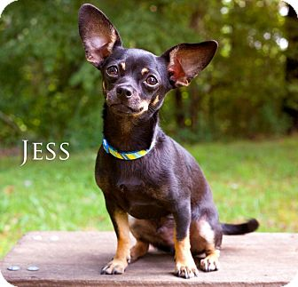 Dachshund/Chihuahua Mix Puppy for adoption in Barium Springs, North Carolina - JESS