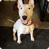Bull Terrier Dog for adoption in Denver, Colorado - Patton