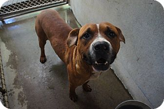 Boxer Mix Dog for adoption in Henderson, North Carolina - Rock*