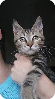 Domestic Shorthair Kitten for adoption in Levelland, Texas - Melanie