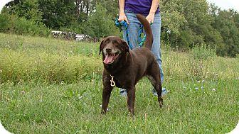 Labrador Retriever Mix Dog for adoption in Cameron, Missouri - Ginger