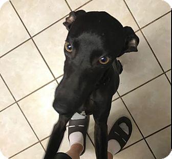 Italian Greyhound Mix Puppy for adoption in Argyle, Texas - Plato in DFW area