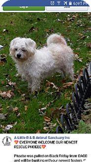 Maltese/Poodle (Miniature) Mix Dog for adoption in Elgin, Illinois - Phoebe