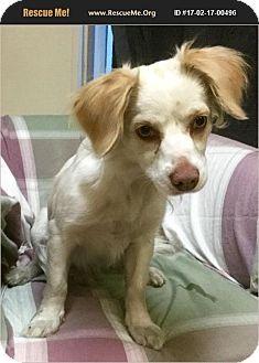 Cocker Spaniel/Papillon Mix Dog for adoption in Phoenix, Arizona - Meteor
