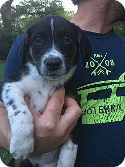 Shepherd (Unknown Type)/Beagle Mix Puppy for adoption in Glastonbury, Connecticut - Finn