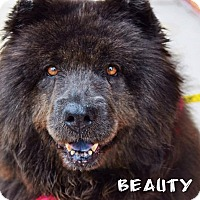 Chow Chow Mix Dog for adoption in Manassas, Virginia - Beauty