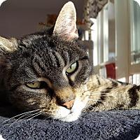 Adopt A Pet :: Endor - BARN CAT - Salisbury, MA