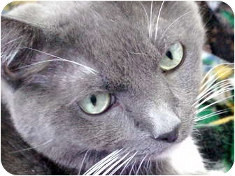 Domestic Shorthair Cat for adoption in Deerfield Beach, Florida - Cashmere