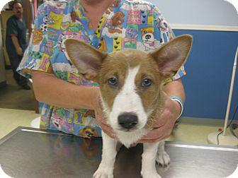 Welsh Corgi Mix Puppy for adoption in Inola, Oklahoma - Banner
