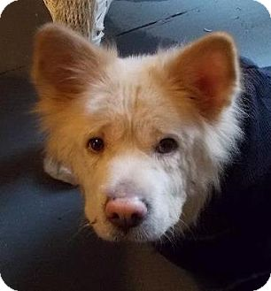 Spitz (Unknown Type, Medium)/Chow Chow Mix Dog for adoption in North Olmsted, Ohio - Lilly