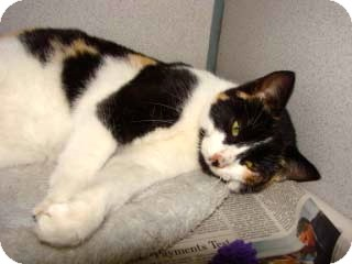 Calico Cat for adoption in Millersville, Maryland - Lucy