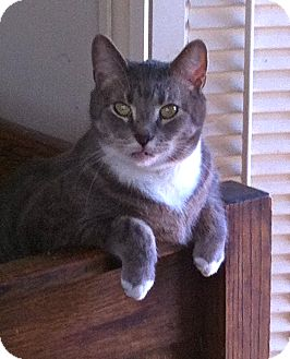 Domestic Shorthair Cat for adoption in Jersey City, New Jersey - Perry