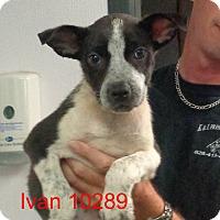Adopt A Pet :: Ivan - Greencastle, NC