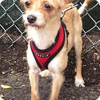 Adopt A Pet :: Naomi - New York, NY