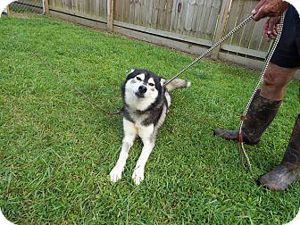 Siberian Husky Mix Dog for adoption in Watha, North Carolina - Thor