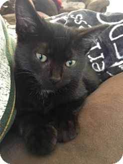 Domestic Shorthair Kitten for adoption in McHenry, Illinois - Magic
