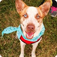 Adopt A Pet :: Lucy - San Antonio, TX