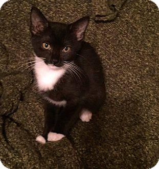 Domestic Shorthair Kitten for adoption in MARION, Virginia - Sabina (in Foster)
