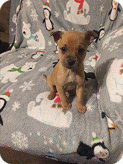 Miniature Pinscher/Chihuahua Mix Puppy for adoption in Hazard, Kentucky - Mindy