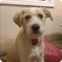 Adopt A Pet :: Brixton - Encino, CA