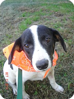 Rat Terrier Mix Puppy for adoption in Stilwell, Oklahoma - Millie