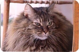 Norwegian Forest Cat Cat for adoption in Davis, California - Sophie