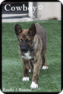 German Shepherd Dog/Australian Shepherd Mix Puppy for adoption in Rockwall, Texas - Hondo