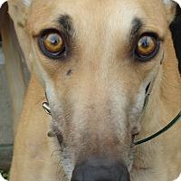 Adopt A Pet :: Quirkey Khaleesi - Longwood, FL