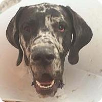 Adopt A Pet :: Okley - Albuquerque, NM