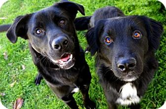 Labrador Retriever Mix Dog for adoption in Fort Smith, Arkansas - Pan