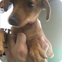 Adopt A Pet :: DALLAS - Gadsden, AL