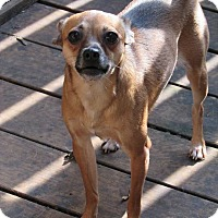 Chihuahua Mix Dog for adoption in Columbia Heights, Minnesota - Lacy