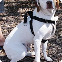 Adopt A Pet :: Nubs - Gilbert, AZ