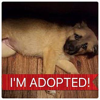 Labrador Retriever/Shepherd (Unknown Type) Mix Puppy for adoption in Regina, Saskatchewan - Ruby