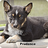 Adopt A Pet :: Prudence - Glastonbury, CT