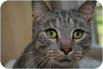 Domestic Shorthair Cat for adoption in Cincinnati, Ohio - Cybill