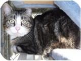 Domestic Shorthair Cat for adoption in El Cajon, California - Martin