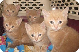 Maine Coon Kitten for adoption in Dallas, Texas - Peanut