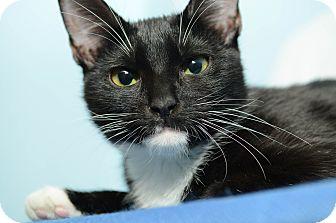 Domestic Shorthair Kitten for adoption in New York, New York - Mulan