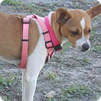 Adopt A Pet :: Sugar - Lockhart, TX