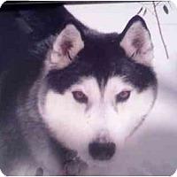 Adopt A Pet :: Diesel #2 - Belleville, MI