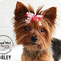 Adopt A Pet :: Harley-Pending Adoption - Omaha, NE