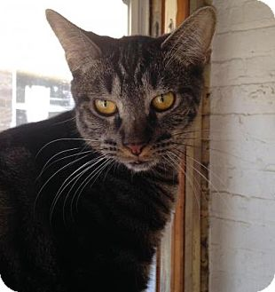 Domestic Shorthair Cat for adoption in Chicago, Illinois - Koa